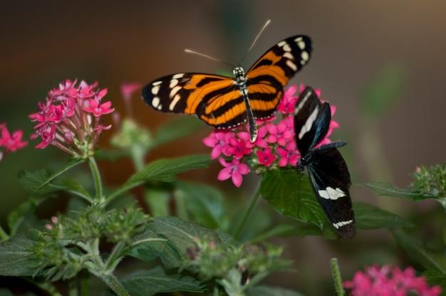 Schmetterling am schmetterlings-palast in branson, missouri