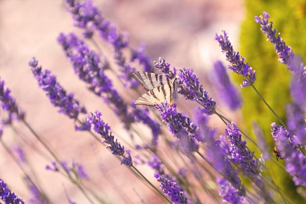 Schmetterling an den lavendelblumen