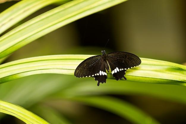 Schmetterling auf blatt, makroinsektenleben im tropischen regenwald. kuala lumpur, malaysia.