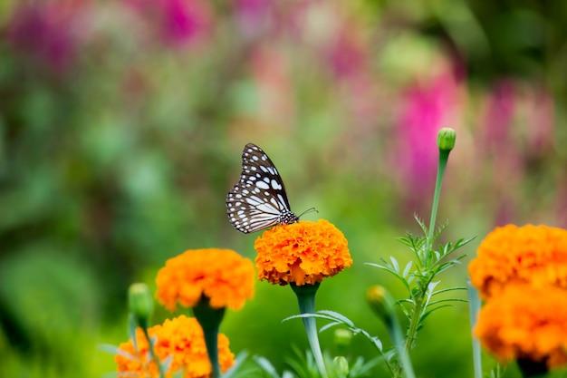 Schmetterling auf der ringelblumenblume