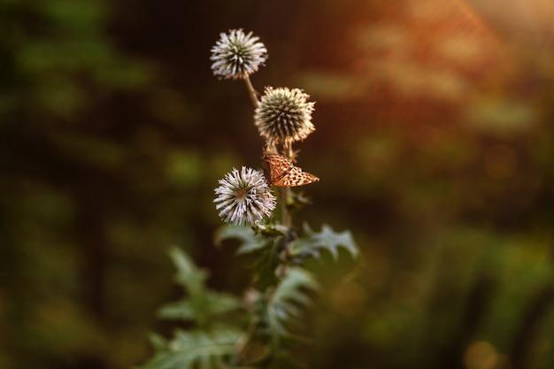 Schmetterling auf distel in den strahlen des sonnenuntergangs