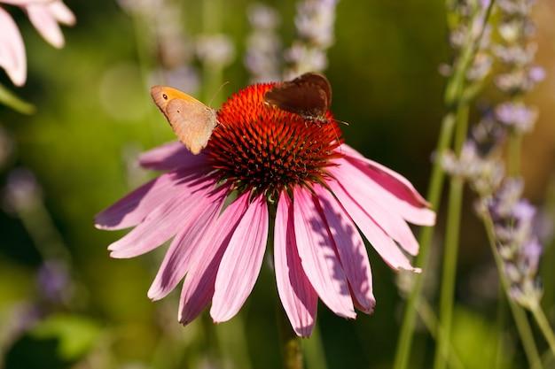 Schmetterling auf echinaceablume