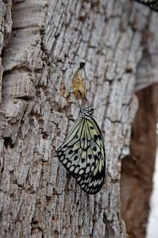 Schmetterling auf einem ast nach dem auftauchen aus einer puppe