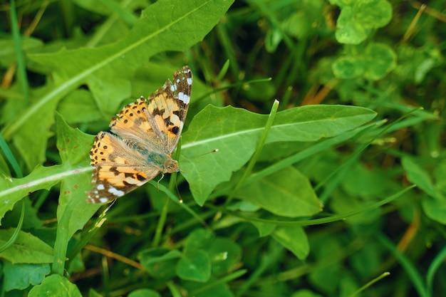 Schmetterling auf einem gras.