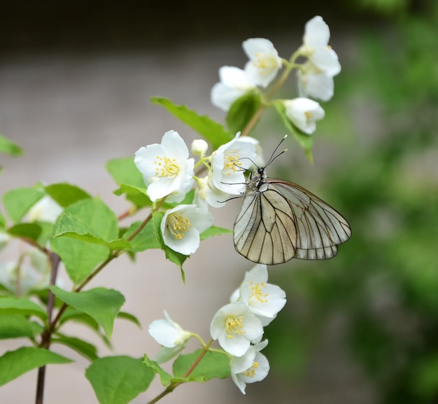 Schmetterling auf einem zweig von jasmin