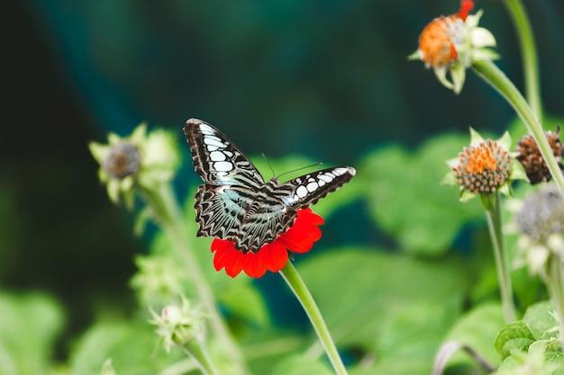 Schmetterling auf einer mexikanischen sonnenblume