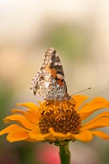 Schmetterling auf einer orangefarbenen blume