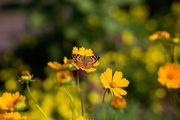 Schmetterling auf gelbem blumensommer