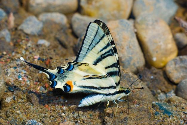 Schmetterling auf nassem sand, in der natur
