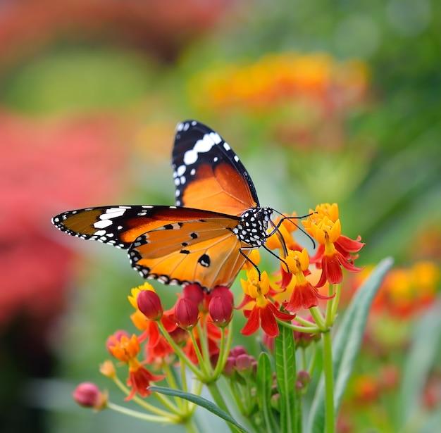 Schmetterling auf orange blume