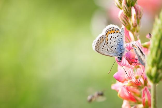 Schmetterling auf rosafarbener blumennahaufnahme