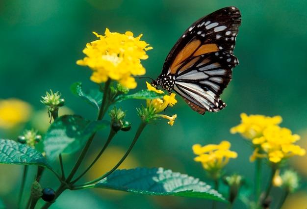 Schmetterling, der auf blume stillsteht