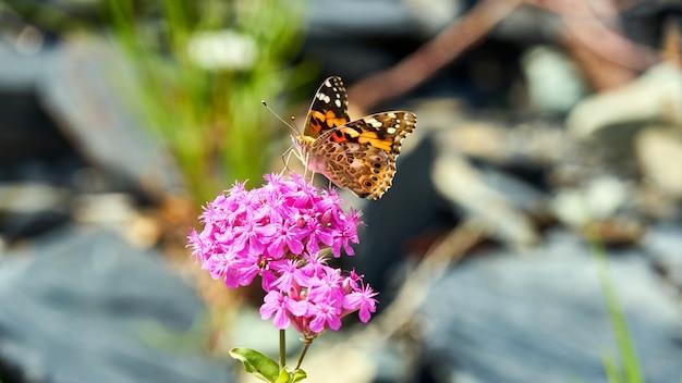 Schmetterling, der auf rosa blühender blume sitzt. sotschi