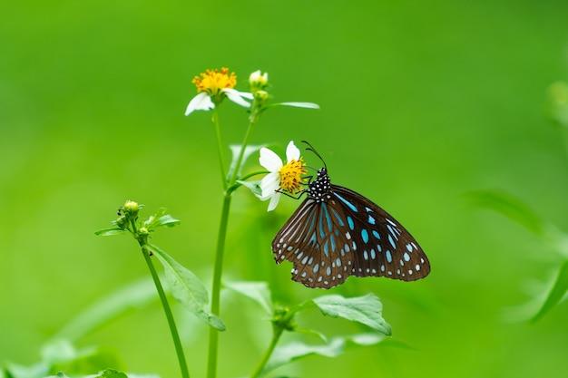 Schmetterling, der nach nektar sucht