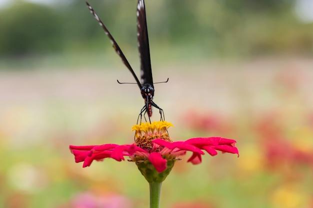 Schmetterling, der nektar vom blütenstaub in einem blumengarten saugt