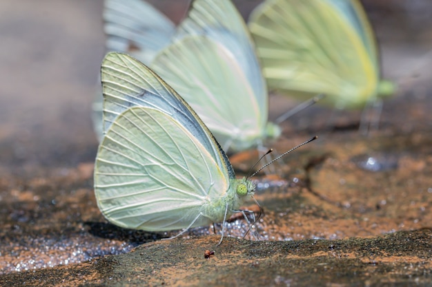 Schmetterling der sturmmöwe (cepora nerissa) in der natur