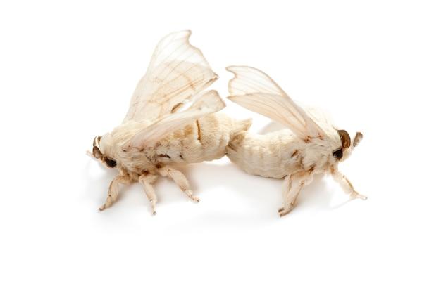 Schmetterling des seidenraupenseidenwurms lokalisiert auf weiß