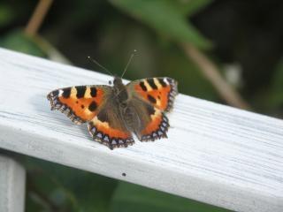 Schmetterling, farben-, insekten-