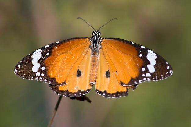 Schmetterling fliegt nahaufnahme
