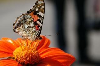 Schmetterling, flügel, nektar