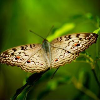 Schmetterling, flügel