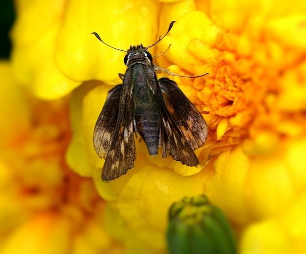 Schmetterling hesperiidae insekten skipper
