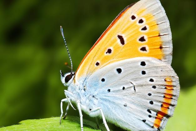 Schmetterling in der natur, abschluss herauf makro