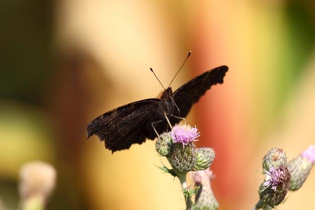 Schmetterling inachis, paon du jour, pfau