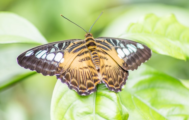 Schmetterling mit braun-weißen flügeln