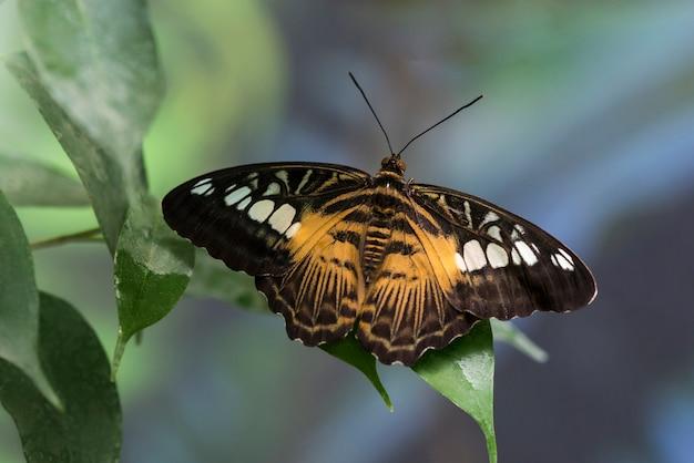 Schmetterling mit geöffneten flügeln auf undeutlichem hintergrund
