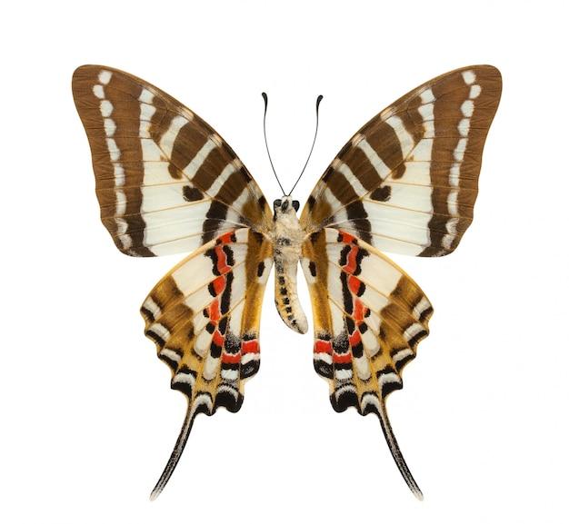 Schmetterling mit unteren flügeln