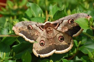 Schmetterling, nacht