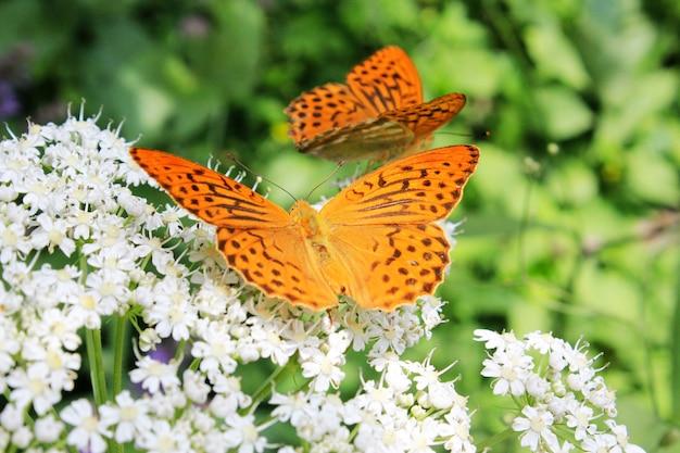 Schmetterling pieridae auf der blume und pflanze, natur und tierwelt, insektenleben, grüne oberfläche.