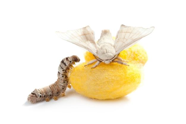 Schmetterling seidenraupenkokon seidenwurm drei stufen