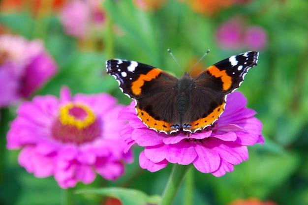 Schmetterling vanessa atalanta auf rosa zinnia elegans blume Premium Fotos