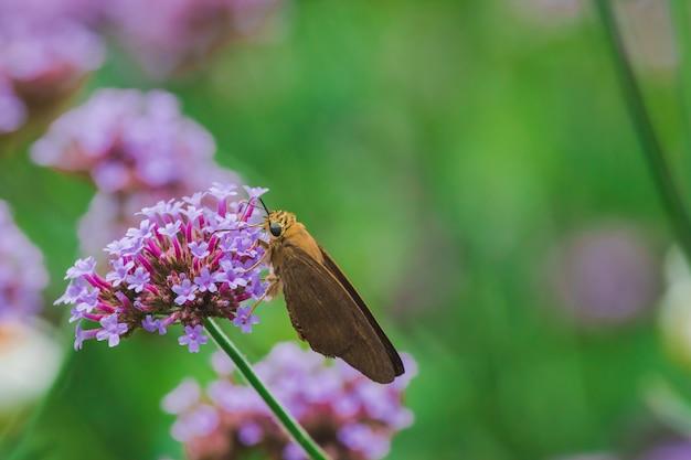 Schmetterlinge auf eisenkraut blühen und sind in der regenzeit schön.