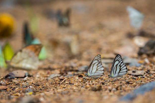 Schmetterlinge (der gestreifte albatros) füttert aus den grund.