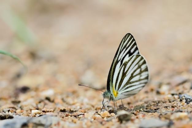 Schmetterlinge (der gestreifte albatros) und blumen