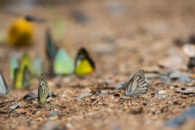Schmetterlinge (der schokoladen-albatros) einziehend aus den grund.