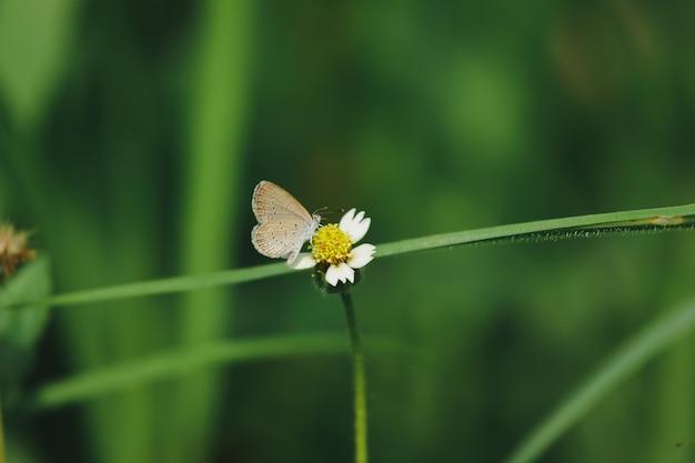 Schmetterlinge sind auf den mantelknöpfen in der natur. diese blume ist eine art trockenheit, die gut vertragen wird.