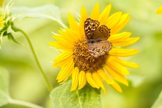 Schmetterlinge sitzen morgens wunderschön auf sonnenblumen