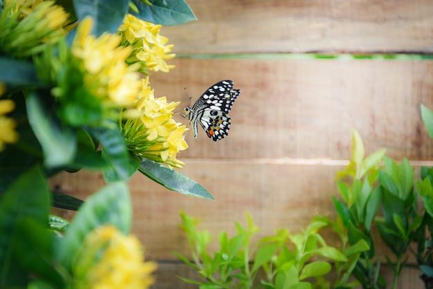Schmetterlingsblume ixora-gelb, das im garten blüht