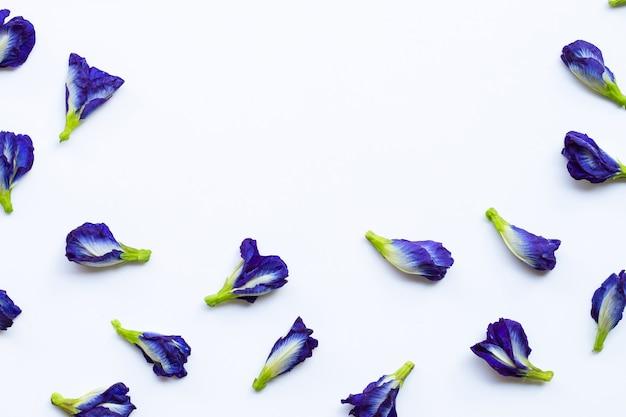 Schmetterlingserbsenblume auf weiß