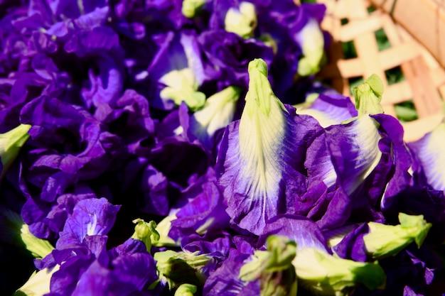 Schmetterlingserbsenblume trocknet im korb für mischung mit heißem wasser zum trinken