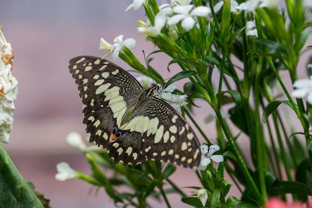 Schmetterlingsfange auf weißen blumen.