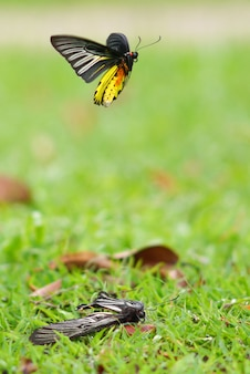 Schmetterlingsfliegen
