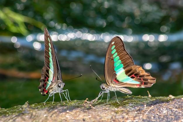 Schmetterlingsflügel schwärzen mit grünen streifen auf den steinen hintergrund undeutlicher wasserfall