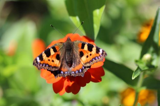 Schmetterlingsurtikaria, der auf einer blume, draufsicht sitzt