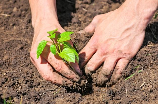 Schmutzig und matschig von männlichen händen und bodenpflanze