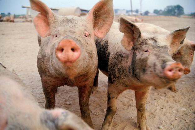 Schmutzige schweine auf dem bauernhof